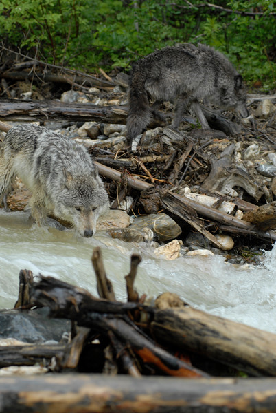 Two gray  wolves fishing in a creek near a beaver dam