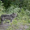 Wolf coming out of the forest
