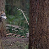 Wolf picture - shot horizontally with enough room for text - a wolf peering out from behind a tree<br /> Wildlife photography - Pictures of Animals - by professional wildlife photographer Christina Craft