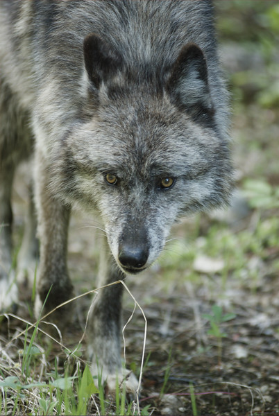 A closeup of a gray wolf #3