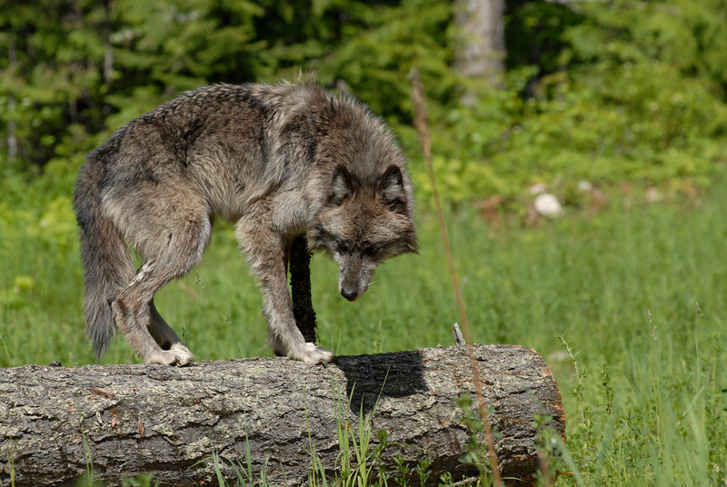 A gray  wolf inside a clearcut