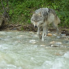 A gray  wolf appraoches the water to fish