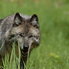 A  wolf hunts for small rodents