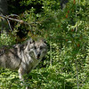 A gray  wolf peering through the trees