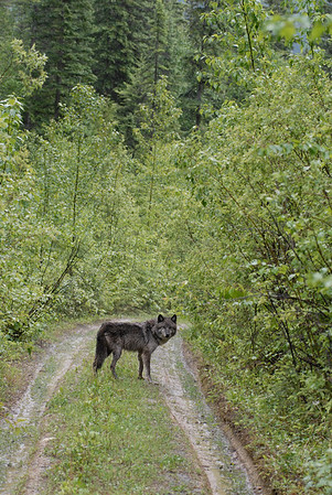 A lone gray wolf along a road in the woods