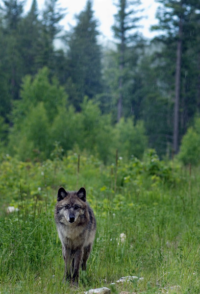 Wolf in natural surroundings