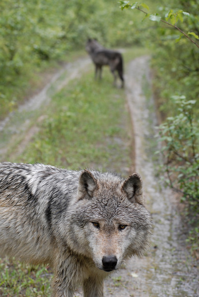 Two gray  wolves along an abandoned roadway