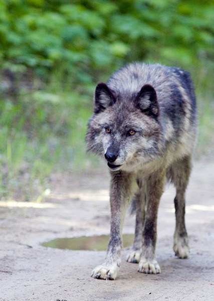 A grey wolf along the Columbia RIver in B.C.
