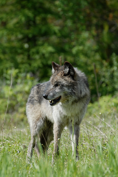 A single  wolf standing in a meadow