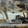 Two gray wolves standing on a beaver dam