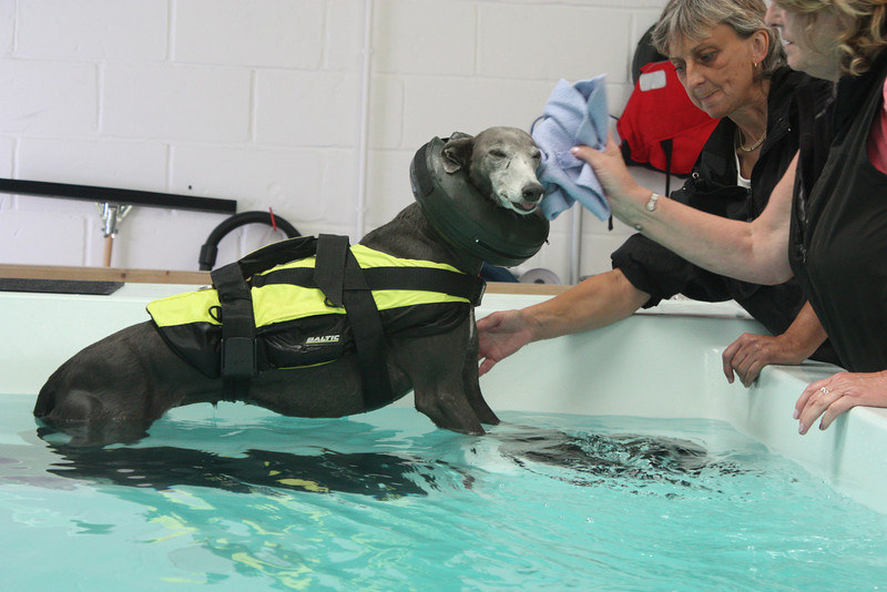 she has been brought back to the back of the pool, to a resting area where she can stand up.  Greyhounds don't like getting water in their ears, so a bit of a dry...