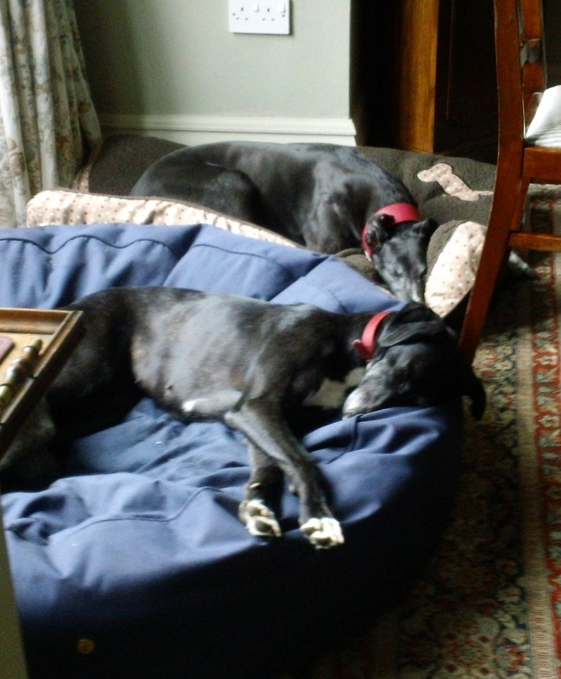 Maude and her friend Tilly looking very relaxed (both sleeping) after 2 long walks today (and chicken leftovers at lunch).