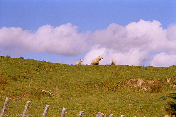 Classic New Zealand Sheep