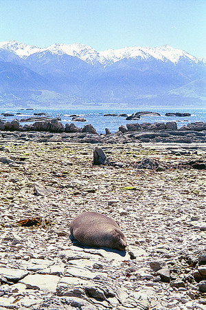 Seal In New Zealand