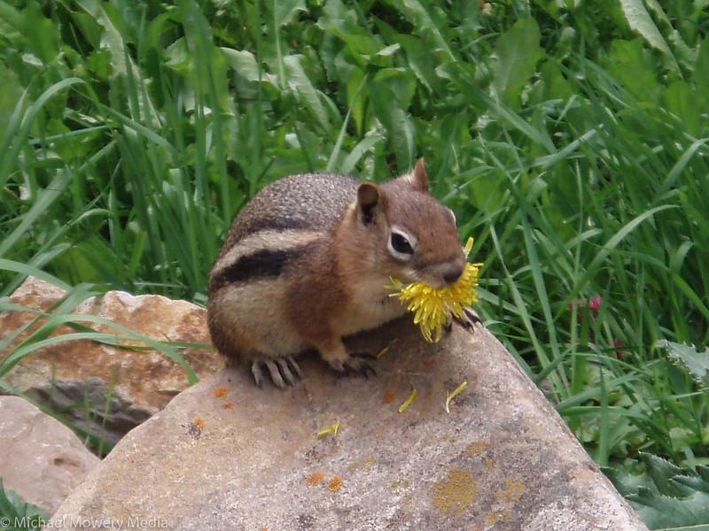Chipmunk eating dandelion