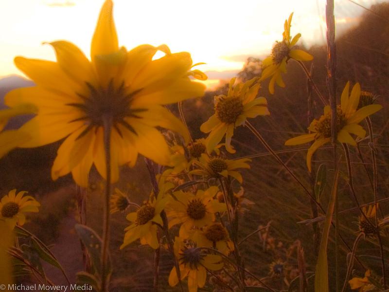 "Sunset thru the ""sun flowers"""