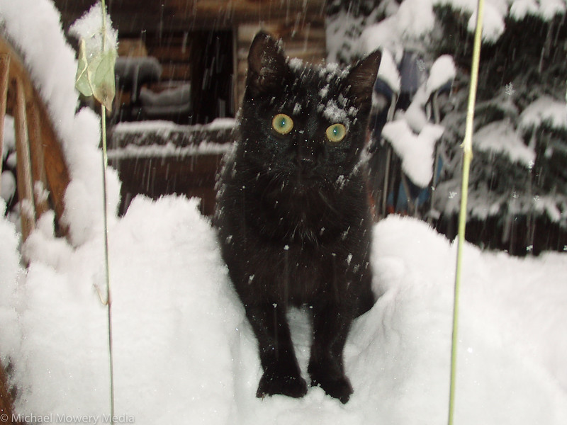 Tango the snow kitty