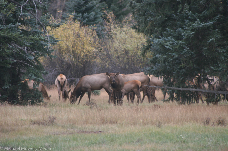Elk on the Vally Floor