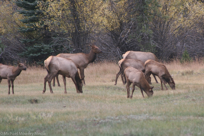 Elk on the Vally Floor