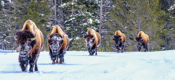 Bison on the Road-Yellowstone-2017