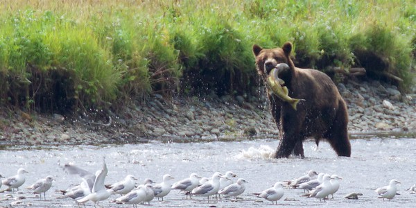 Grizzlies of Pack Creek, Alaska