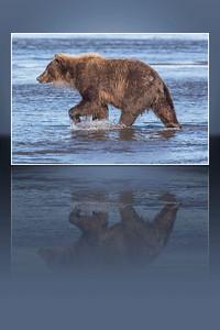 Walking Bear Reflected