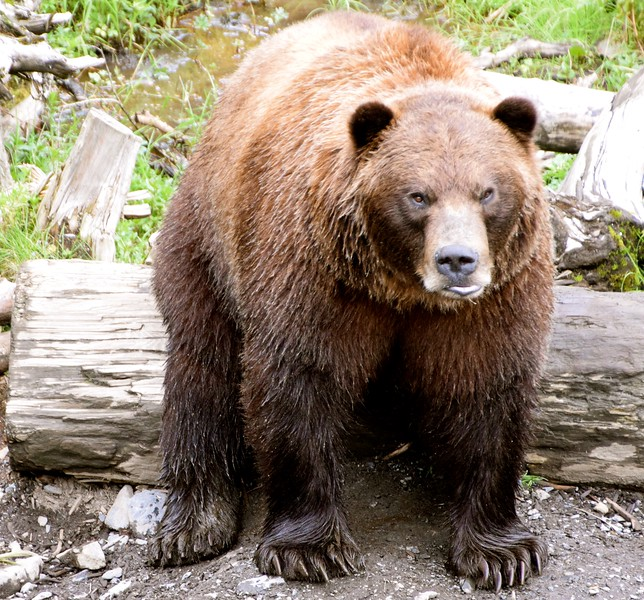 MAD GRIZZLY