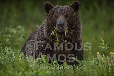 Grizzly Bear , Tumbler Ridge BC Area