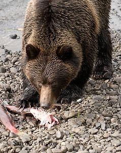 Hanna creek bear