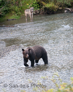 Wolf and Grizzly fishing for salmon
