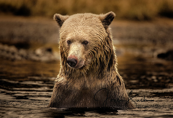 Grizzly Bear Female Fishing