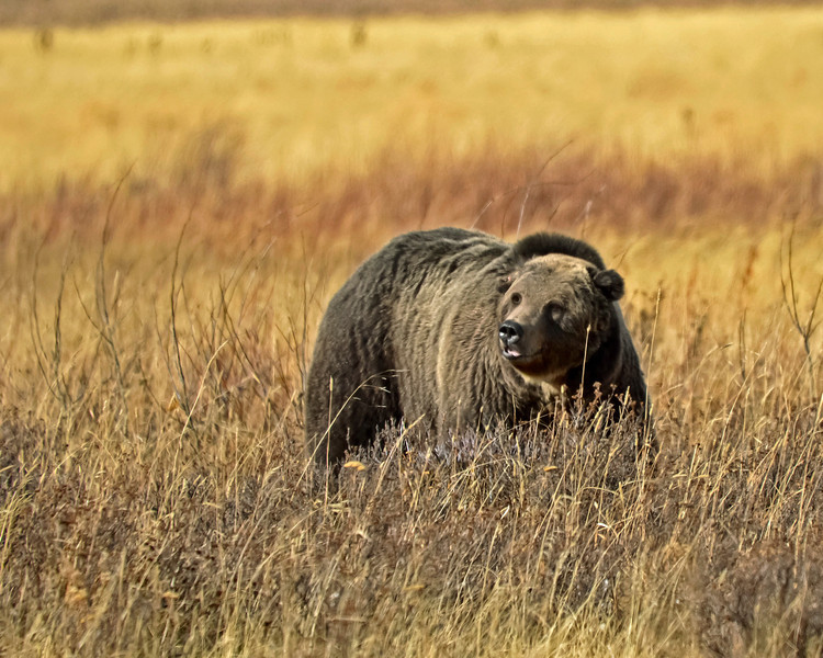 Roosevelt Junction Grizzly