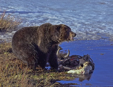 Grizzly Bear on a winter kill Bison carcass, Yellowstone National Park.