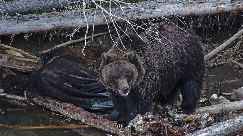 Grizzly scavenging along the Lamar River Yellowstone Park.  Grizzlies are great scavengers.