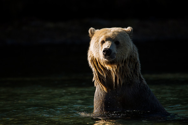 Blondie, Female Grizzly