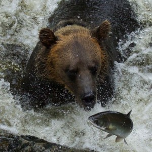 Grizzly of Anan Creek