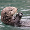 A sea otter diving for clams in Homer harbour