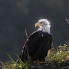 A subadult American Bald Eagle in Homer