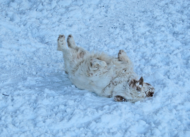 NASHOBA VALLEY VOICE/ANNE O'CONNOR<br /> One of Sarah Bullwinkles's clumber spaniels can't help but enjoy the snow at Groton Place. She had Natty, Rocky and Moo with her. Dog walkers are welcome at the property owned and managed by the New England Forestry Foundation.