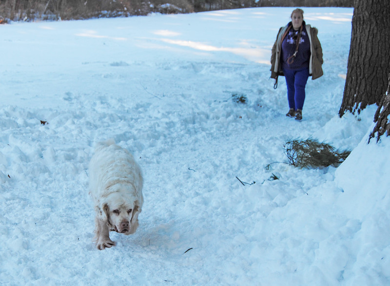 """NASHOBA VALLEY VOICE/ANNE O'CONNOR<br /> The """"dog park"""" is a favorite location in Groton. Dog walkers are welcome at Groton Place, the property owned and managed by the New England Forestry Foundation. Sarah Bullwinkle and one of her clumber spaniels.  She had Natty, Rocky and Moo with her."""