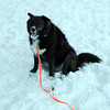 "NASHOBA VALLEY VOICE/ANNE O'CONNOR<br /> Tessa, 4, a border collie mix, wears a bright orange leash and flashing collar. The ""dog park"" is a favorite location in Groton. Dog walkers are welcome at Groton Place, the property owned and managed by the New England Forestry Foundation."