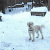 "NASHOBA VALLEY VOICE/ANNE O'CONNOR<br /> Willow, a 2-year-old goldenoodle loves Groton Place. The ""dog park"" is a favorite location in Groton. Dog walkers are welcome at Groton Place, the property owned and managed by the New England Forestry Foundation."