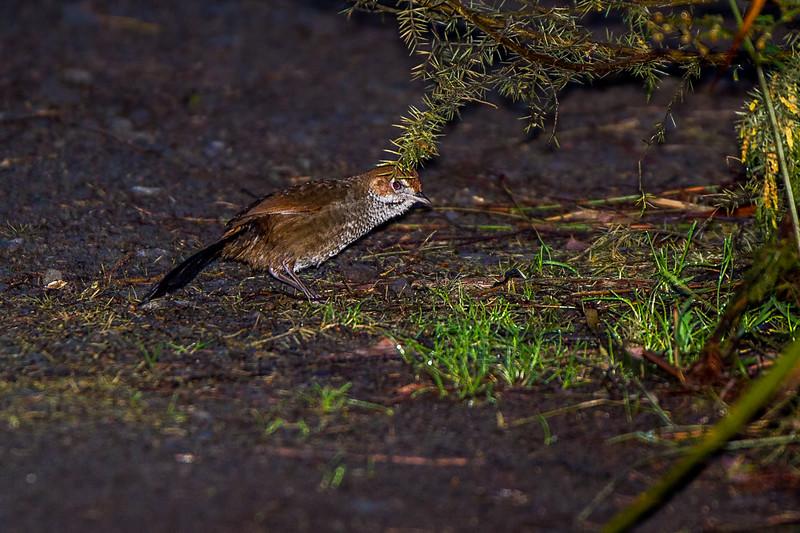 Rufous Bristlebird (Dasyornis broadbenti)