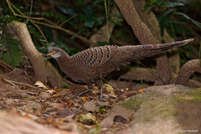 Grey Peacock-Pheasant