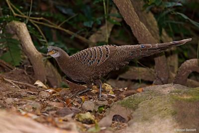 Grey Peacock-Pheasant
