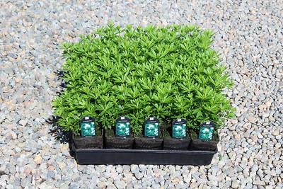 Galium odoratum 3 5 in 25 per flat