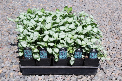 Lamium mac  'Beacon Silver' 3 5 in 25 per flat