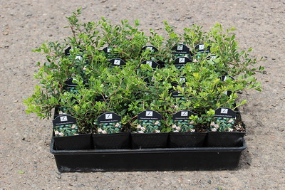 Arctostaphylos u-u  'Massachusetts' - 25 per flat 3 5 in
