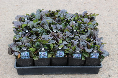 Ajuga reptans 'Black Scallop' - 25 per flat 3 5 in