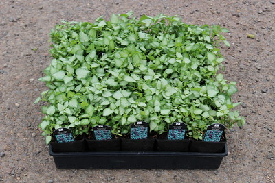 Lamium mac  'Beacon Silver' - 25 per flat 3 5 in